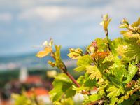 Vineyard in burgenland near Village of Oslip