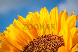 Sonnenblume Nahaufnahme - Querformat