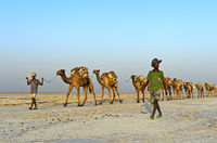 Männer der Afar Nomaden führen eine mit Steinsalzplatten beladene Dromedar-Karawane über den Assale Salzsee