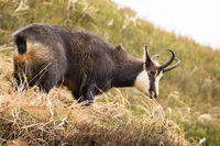Tatra chamois standing on dry meadow in autumn nature.