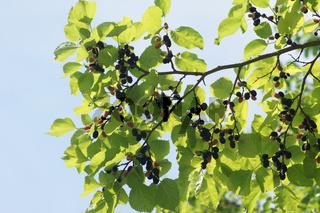 Morus nigra, Schwarze Maulbeere, Black mulberry