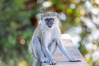 Vervet monkey, Chlorocebus pygerythrus, Botswana