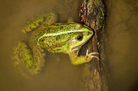 Colorful edible frog lying in swamp in sunlight.