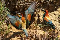 Bee-eaters next to their nest in the ground