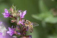 Honigbiene sitzt auf einer lila Seifenkraut  Blüte vor grünem unscharfem Hintergrund