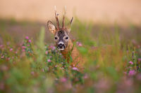 Hidden roe deer buck looking from blooming clover field in summer nature