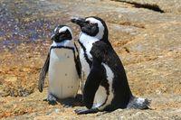 Afrikanische Pinguine an der Boulders Beach am Kap in Südafrika