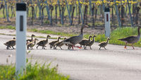 Flock of greylag goose crossing countryside road together.