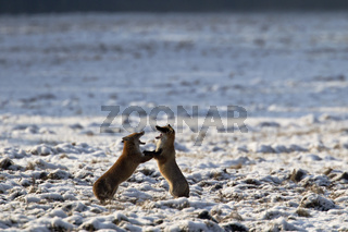 Rotfuchspaar in der Ranzzeit