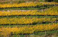 Beautiful orderly terraced vineyard. Sunny colorful autumn  scene, Sudtirol, Italy