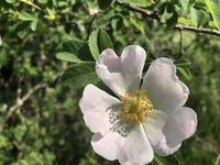 Heckenrose, Dog rose, rosa corymbifera