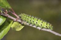 Kleines Nachtpfauenauge - Raupe, Saturnia pavonia, small emperor moth - caterpillar