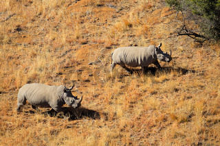 White rhinoceros pair