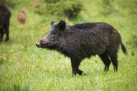Female wild boar walking on green meadow with rest of herd behind