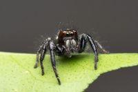 Male Jumping spider, Carhottus viddus, salticidae, Satara, Maharashtra, India