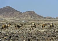 Dromedar-Karawane der Afar Nomaden auf der Wanderung durch eine Steinwüste, Äthiopien