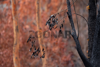 Burnt blackened leaves against a backdrop of browned leaves, after bush fire