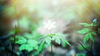 A clouded anemone as in mythological history: the mysterious anemone of Assyria. Blur