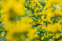 Bright yellow flower loosestrife spot illuminated by the bright rays of the midday sun. Selective focus macro shot with shallow DOF