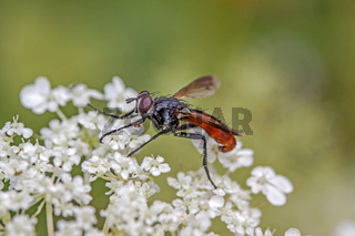 Raupenfliege 'Cylindromyia bicolor'