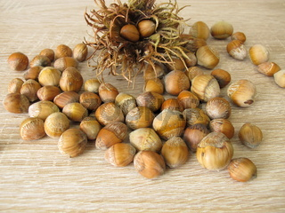 Haselnüsse von der Baum-Hasel in der Nussschale und ein Fruchtstand