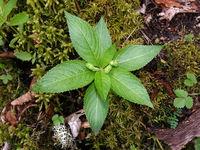 Wald-Bingelkraut (Mercurialis perennis), junge Pflanze mit Blütenknospen