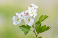 Midland hawthorn white flowering tree