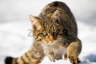 Wild european wildcat approaching on snow in winter