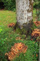 Riesenporling an Buchenstamm, Giant Polypore, Black-staining polypore, Meripilus giganteus