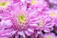 Close up macro of pink chrisantemum bouquet background