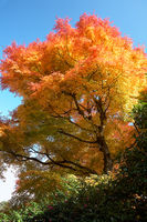 Bright orange, yellow and  dark red leaves of Japanese maple at autumn. Japan