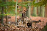 Fallow deer stag standing in forest in autumn with herd in background.