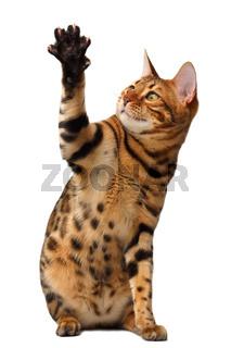 bengal cat raising up paw