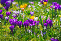 Spring meadow with various crocus flowers