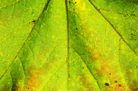 Closeup macro shot of the texture and leaf-veins of a maple leaf