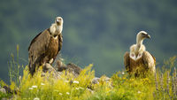 Two majestic griffon vultures sitting on rocks in summer.