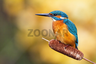 Cute male common kingfisher sitting on bulrush flower in spring at sunrise
