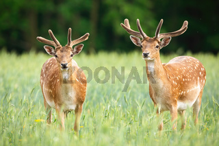 Majestic pair of fallow deer stags standing on meadow in the summer.