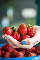 Ripe delicious strawberries