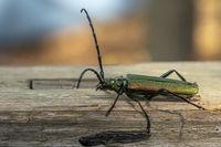 Grüner Moschusbock  Käfer krabbelt auf einem verwitterten Holzbrett vor unscharfem Hintergrund