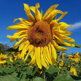 Nahaufnahme einer Sonnenblume mit Honigbienen