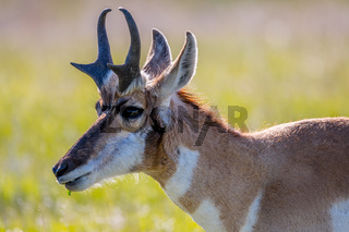 Pronghorn in the field of Custer State Park, South Dakota