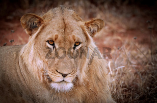 Löwin, Südafrika - lioness, South Africa
