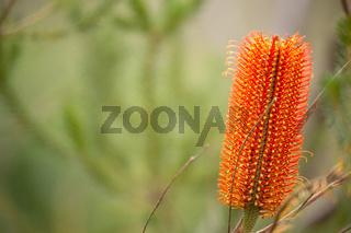 Banksia in bushland - Banksia ericifolia