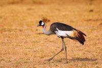 Kronenkranich im Murchison Falls Nationalpark, das Wappentier in Uganda (Balearica pavonina) | Black Crowned-crane, Murchison Falls National Park Uganda (Balearica pavonina)