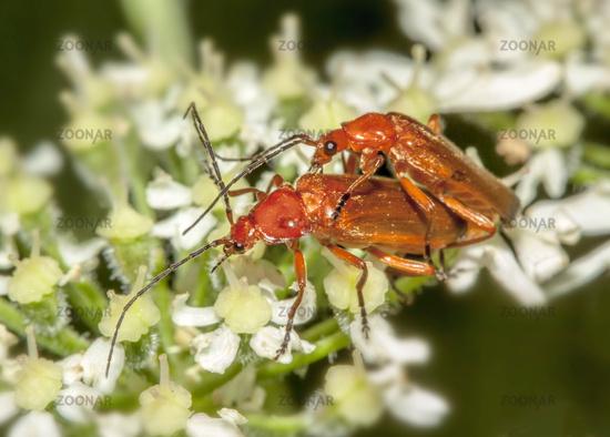 Roter Weichkaefer 'Rhagonycha fulva'