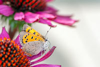 Common copper butterfly collecting nectar on a flower