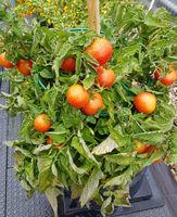Buschtomate, Tomate, Lycopersicon, esculentum