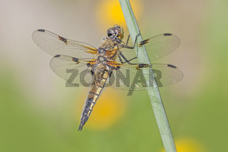 Vierfleck  'Libellula quadrimaculata'