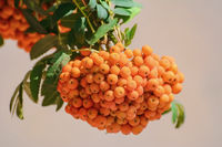 European rowan fruit